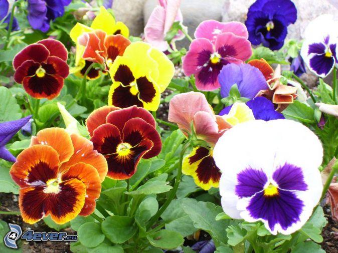 pensées, fleurs colorées