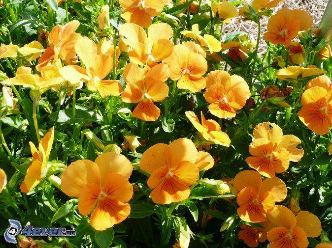 pensées, fleurs jaunes