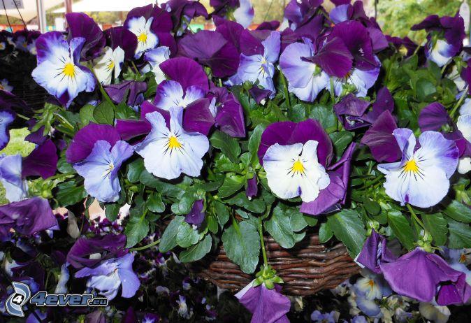 pensées, fleurs violettes, fleurs blanches, panier
