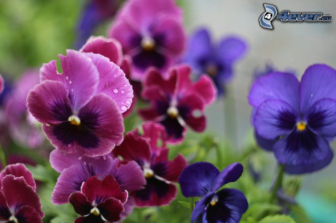 pensées, fleurs violettes, fleurs rouges