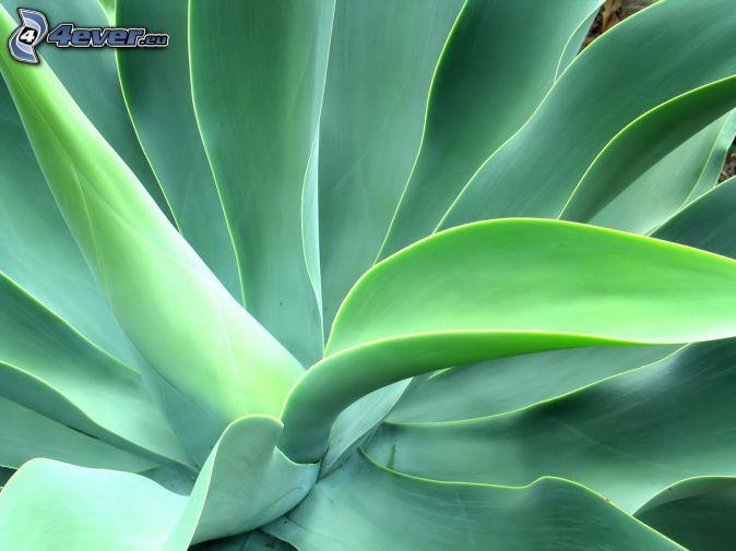 Feuilles vertes for Plante 7 feuilles
