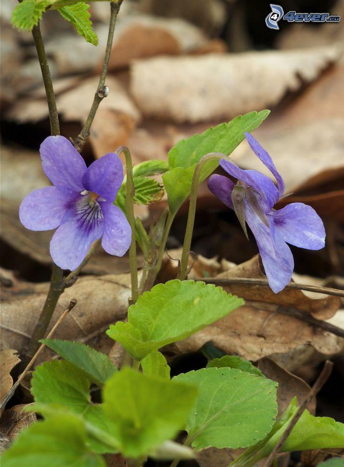 violettes, feuilles vertes, feuilles sèches