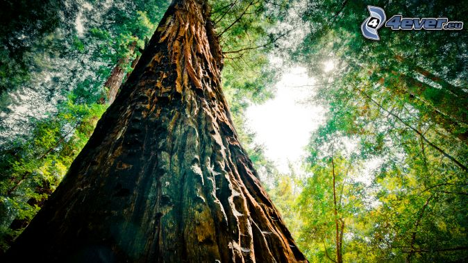 Que suis - je  N ° 1 - ajonc - 30 août trouvée par Martin Sequoia,-arbre,-foret,-ecorce-darbre-171446