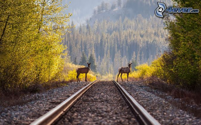 rails, cerfs, forêt