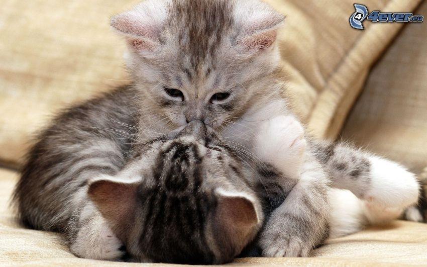 chats, baiser