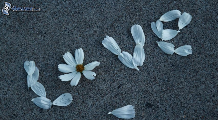 love, pétales, fleur
