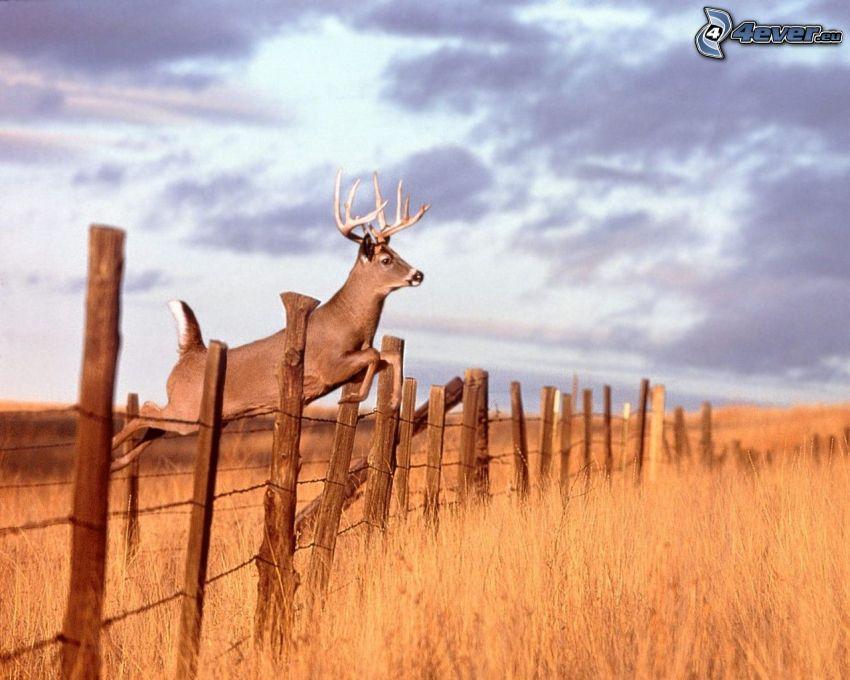 cerf, vieille clôture, grillage, saut, champ, ciel