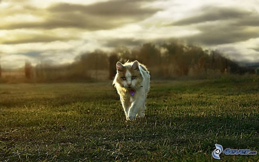 chat, l'herbe, nuages