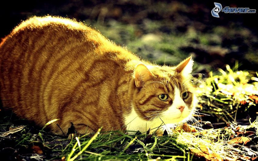 chat, l'herbe