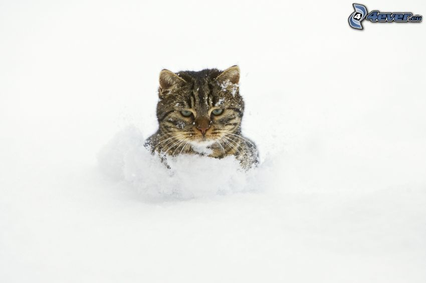 chat, neige