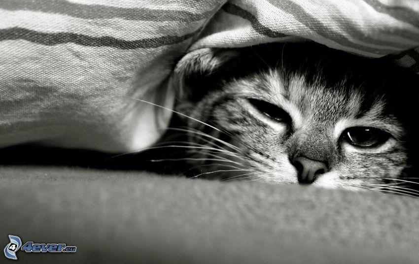 chat, photo noir et blanc