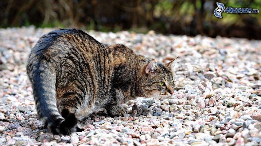 chat, pierres