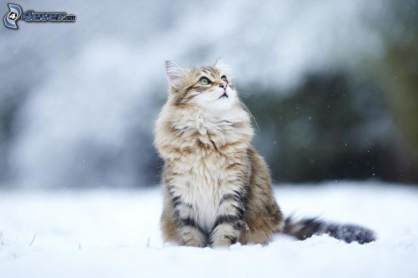 chat, regard, neige
