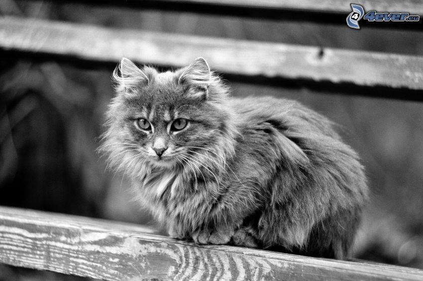 chat, regard, photo noir et blanc