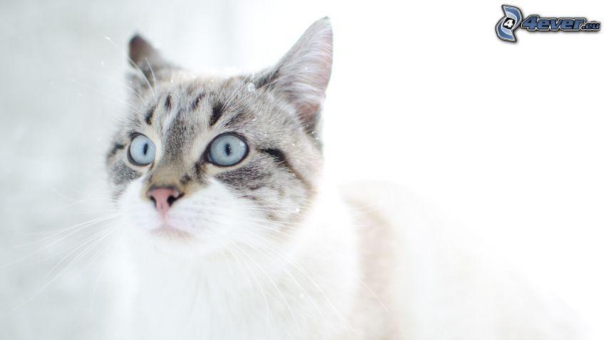 chat, tête de chat, regard