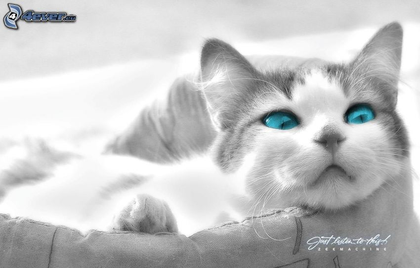 chat, yeux bleus