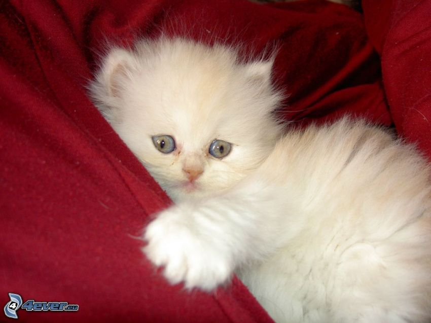 chat persan, petit chaton blanc