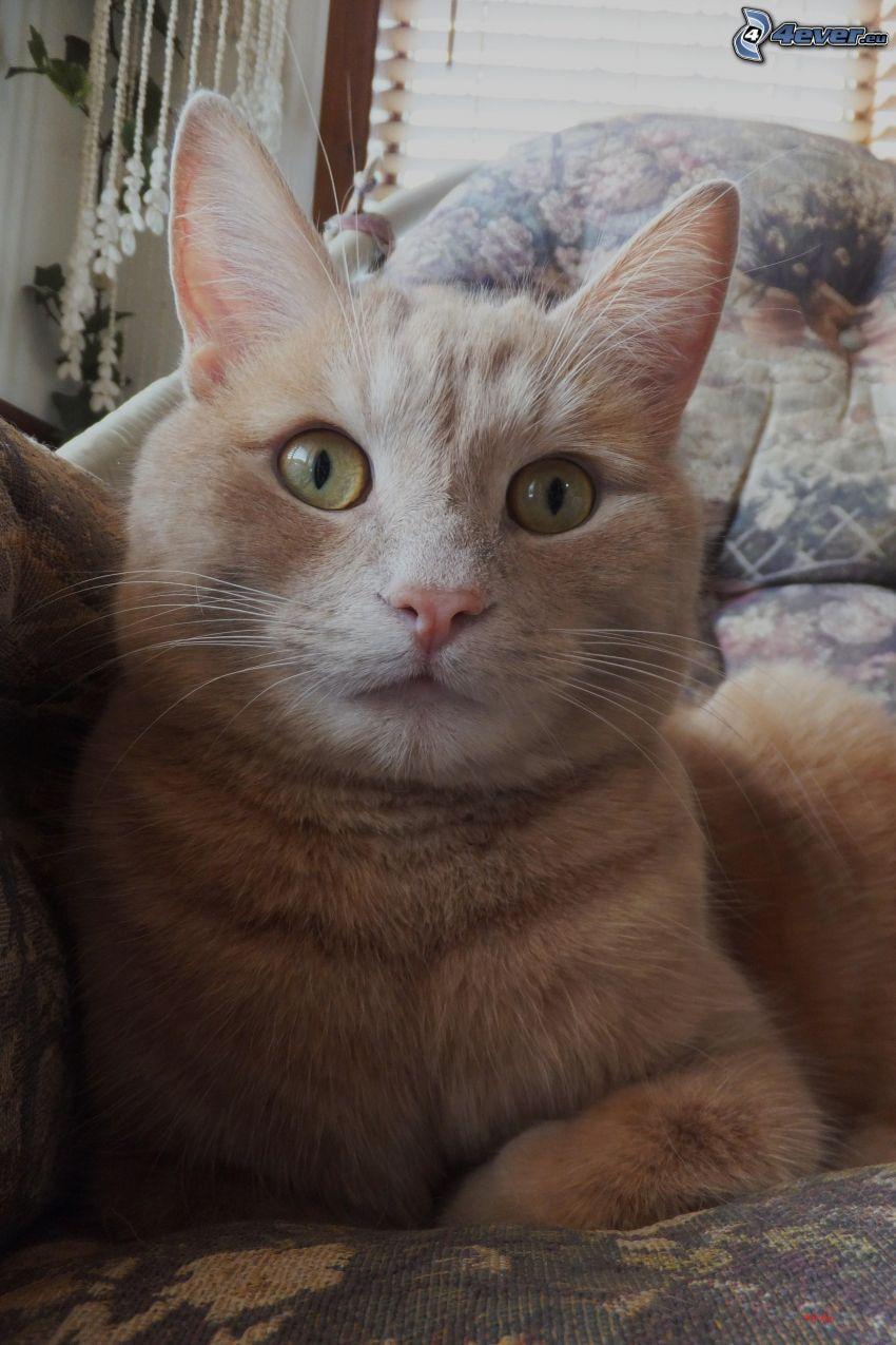 chat roux, canapé