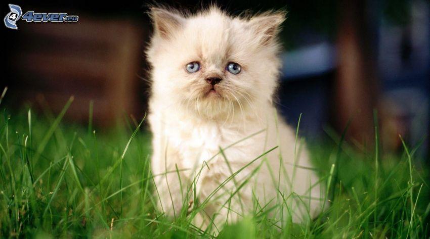 chaton, herbe verte