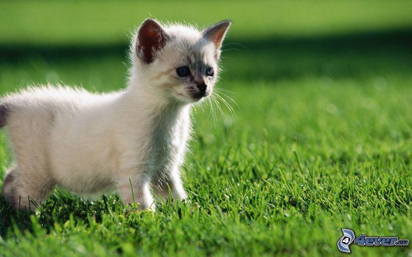 chaton, l'herbe