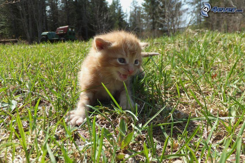 chaton brun, l'herbe