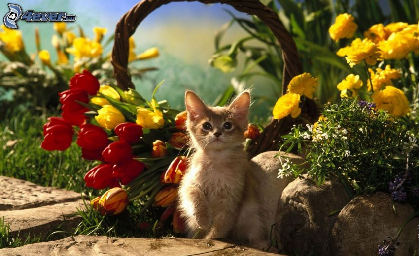 chaton brun, tulipes, fleurs jaunes