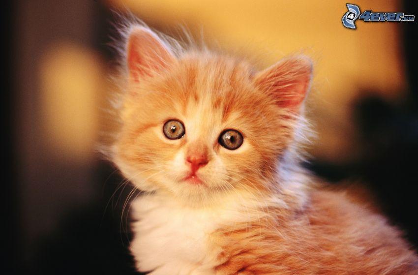 chaton brun