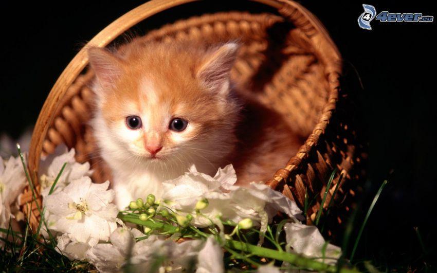 chaton dans un panier, fleurs blanches