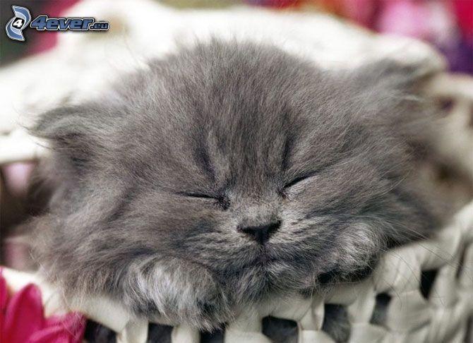 chaton gris, chaton dormant