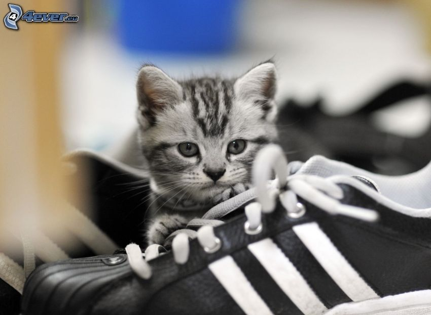 chaton gris, chaussure