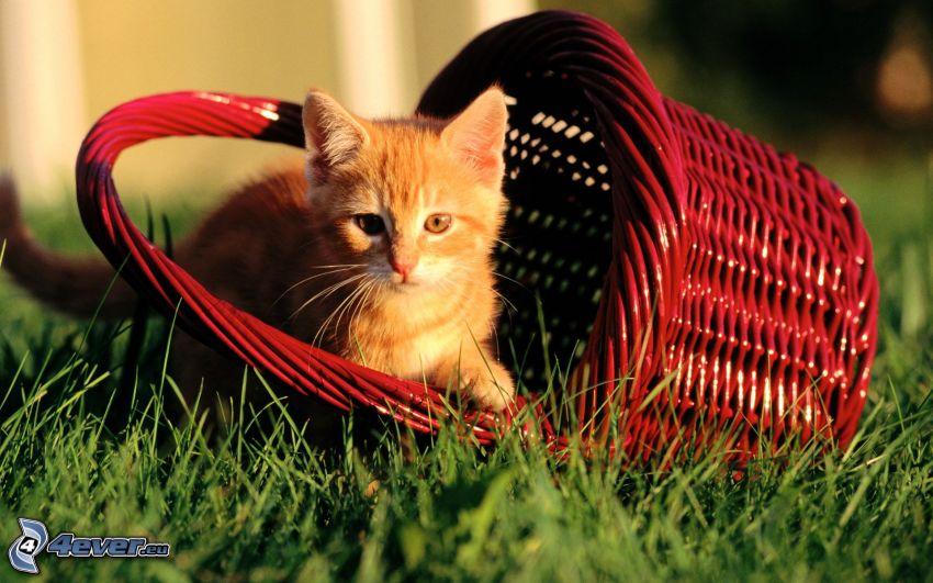 chaton roux, panier, l'herbe