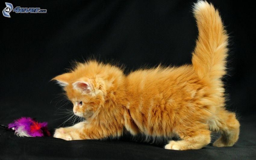 chaton roux, plumes