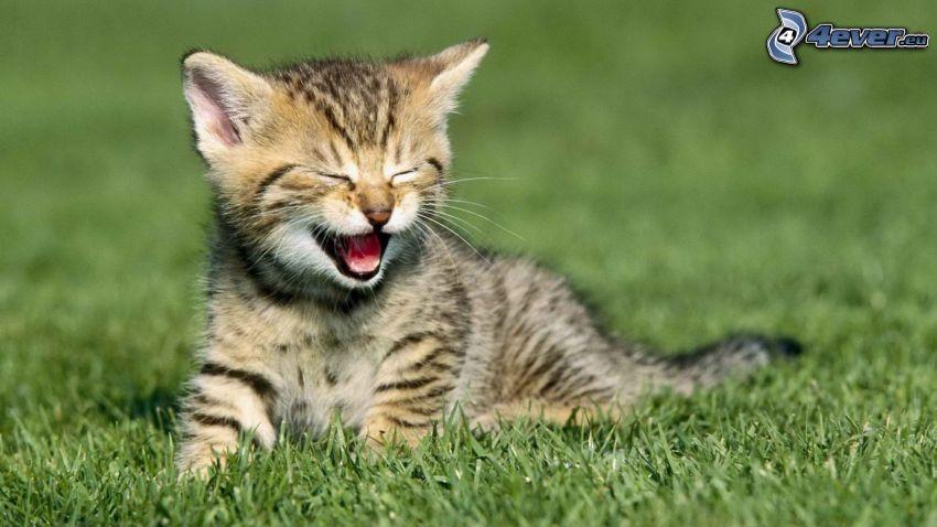 chaton tacheté, bâillement, l'herbe