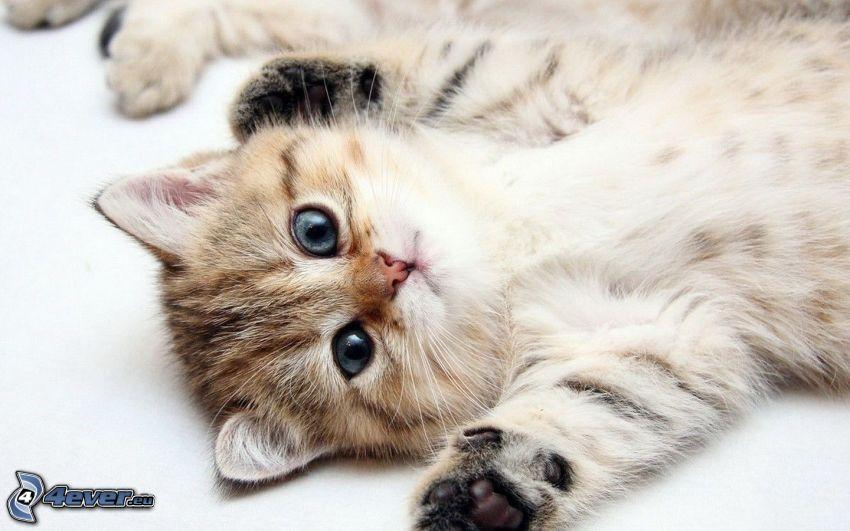 Petit chaton - Image de petit chat ...