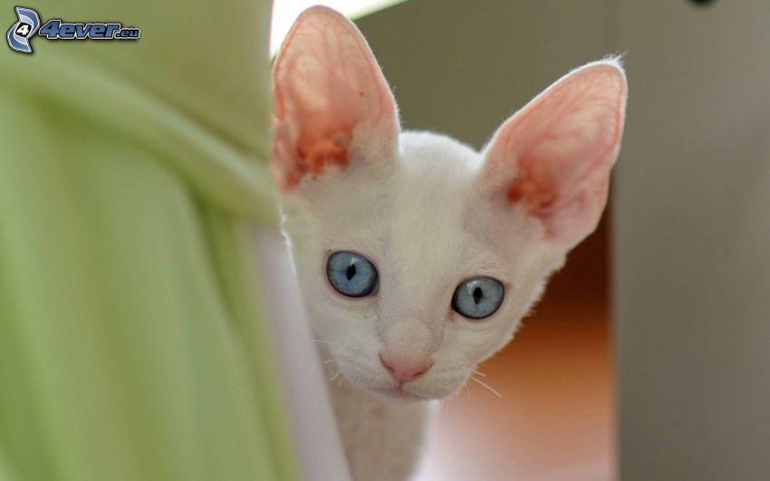 petit chaton blanc