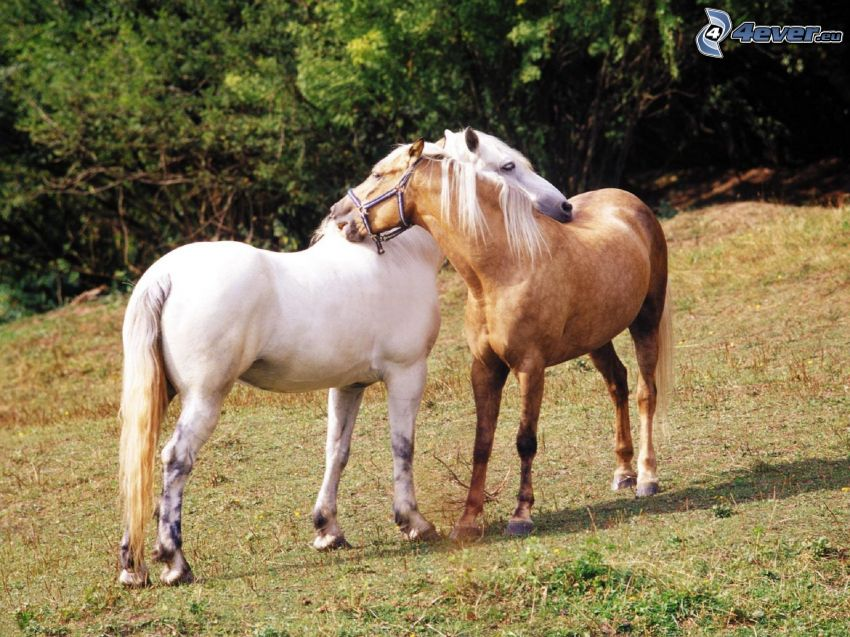 chevaux, cheval blanc, cheval brun, couple, amour