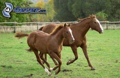 jument, chevaux, poulain, clôture, galop