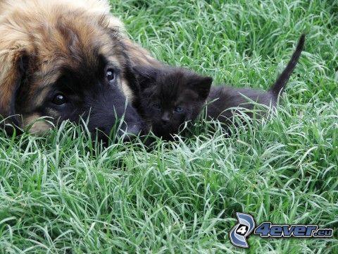 chien et chat, un petit chat noir, l'herbe, amour