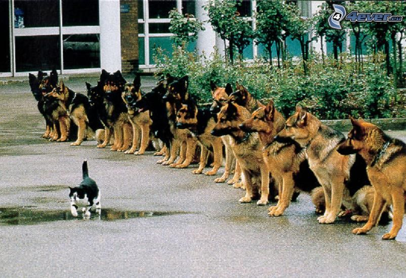 chiens, chat, patience, chien-loup