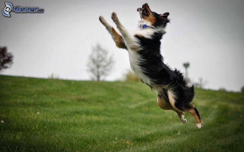 Border Collie, saut, prairie