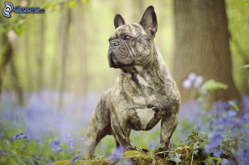 Bulldog anglais, fleurs violettes, forêt