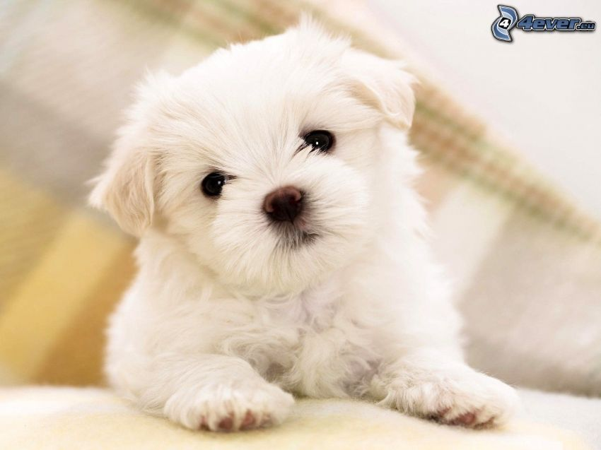 caniche, chien blanc