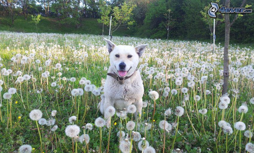chien blanc, pissenlits défleuris