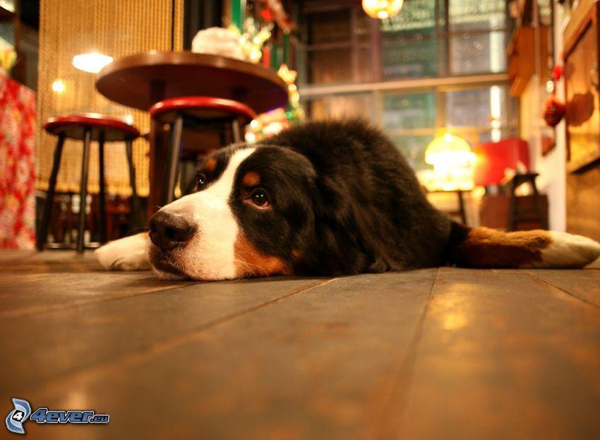 chien sur le plancher