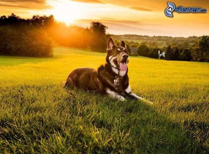 chien sur l'herbe, coucher du soleil