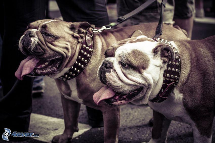 chiens, Bulldog anglais
