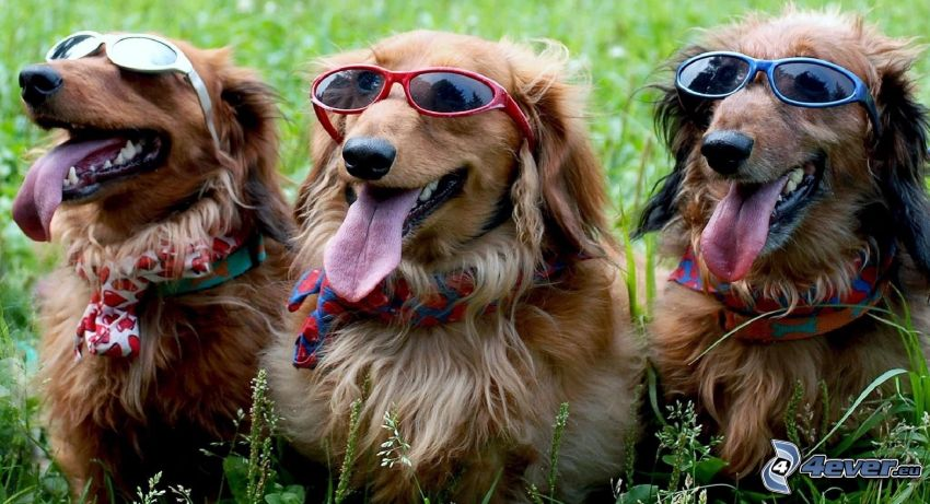 chiens, lunettes de soleil