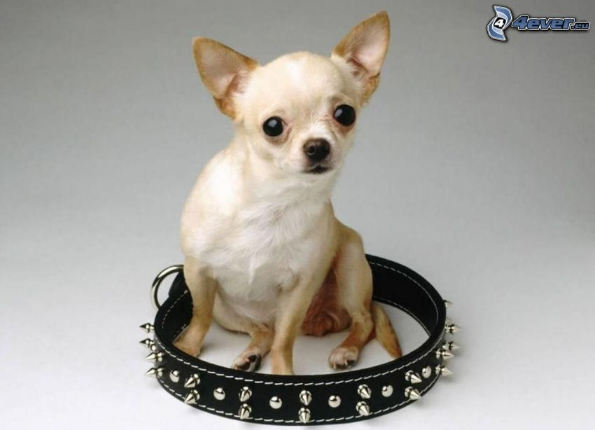 Chihuahua, collier