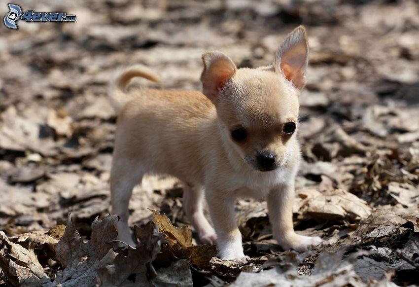 Chihuahua, feuilles sèches
