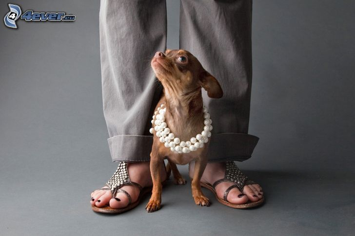 Chihuahua, perles, jambes